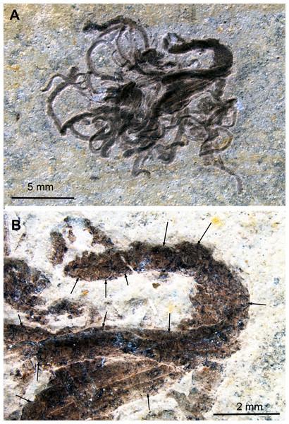 Medusites capillaris, Kimmeridgian, Nusplingen (Germany). SMNS P1856.