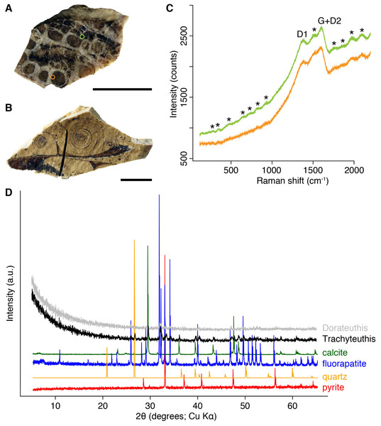 Composition of the Liesegang rings resembling chromatophores in two Mesozoic coleoids.