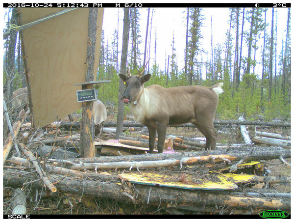Trail camera photograph of a Kennedy Siding radio-collared cow caribou with visible ribs on the platform scale with the readout displaying a weight of 308 pounds.
