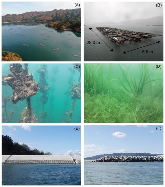 Photographs of the oyster culture rafts, seagrass, seawall, and breakwaters from Nagatsura-ura Lagoon, Sanriku Coast, Japan.