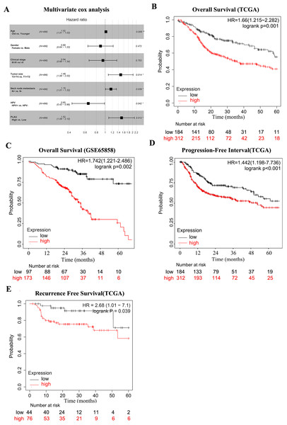PLAU is an independent predictor of HNSCC prognosis.