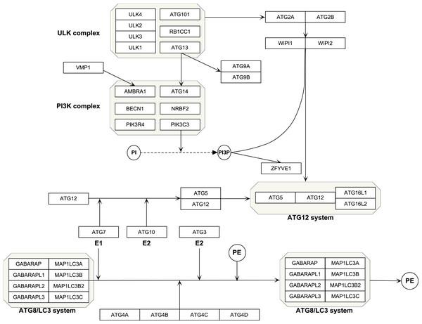 Schematic of autophagy pathway.