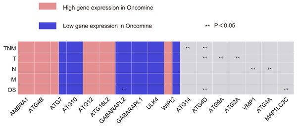 Summary of the correlation between ATG genes expression and TNM staging and prognosis.