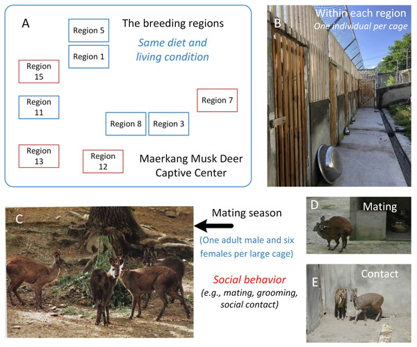 The study area and the social behavior during mating season in Maerkang Musk Deer Captive Center.