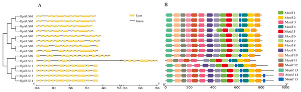 Schematic gene structure and motif location of 14 sucrose synthase genes in B. juncea.