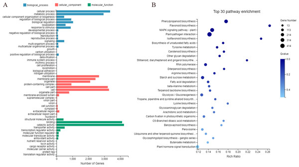 GO and KEGG enrichment analyses (A and B) of unigenes expressed specifically in the roots of Pueraria lobata.