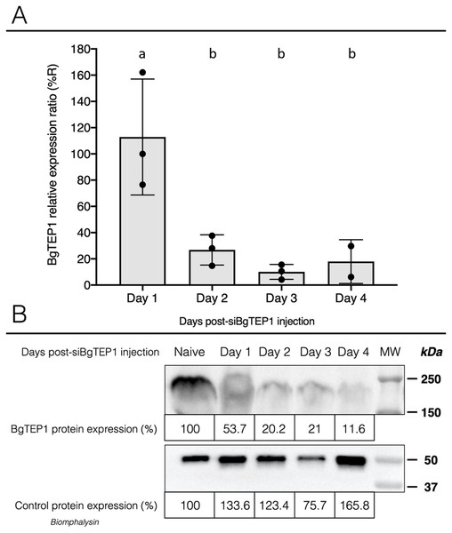 Knockdown of BgTEP1 expression in guadeloupean snails.