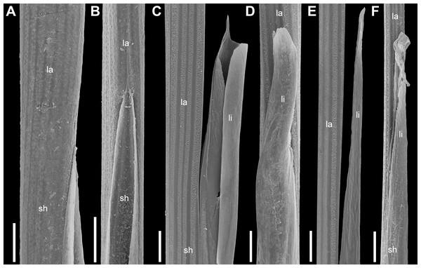 Leaf sheath to lamina transition in plants of the Anarthria gracilis complex (SEM).