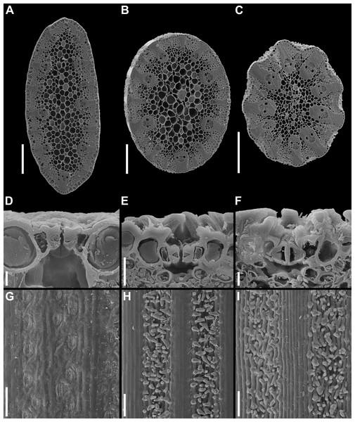 Details of leaf anatomy in Anarthria gracilis complex (SEM).
