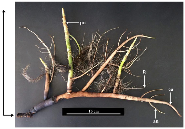 Root system of Sonneratia caseolaris grown in saltwater showing the differrent types of root observed.