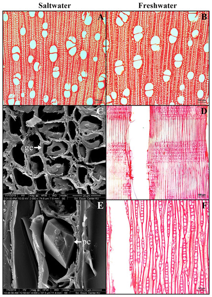 A transverse sections and longitudinal sections of wood of Sonneratia caseolaris.
