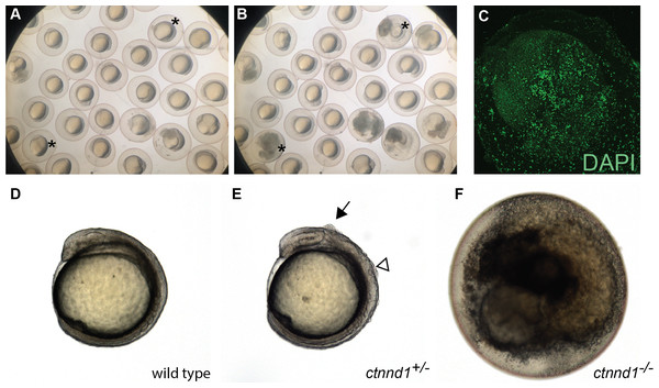 Embryonic disintegration in ctnnd1 mutants.