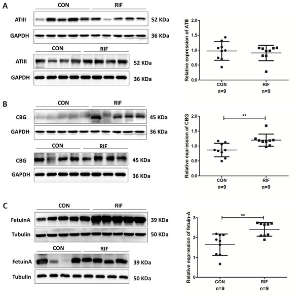 Proteins expression levels change between repeated implantation failure (RIF) and pregnant controls (CON).