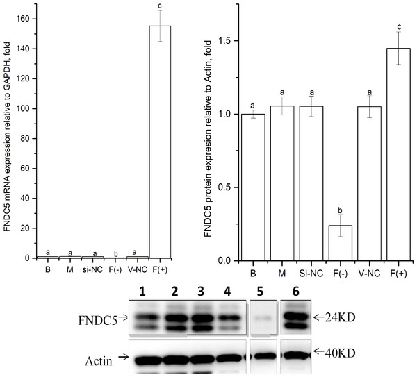 Effects of nucleic acid transfection on FNDC5 mRNA (A) and protein (B) expressions in vitro in C2C12 myotubes.