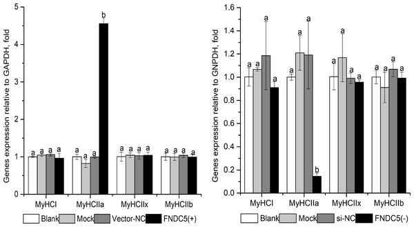 Effect of FNDC5. gene knockdown (A) or up-regulated (B) expression on MyHCs mRNA levels during C2C12 myogenic differentiation.