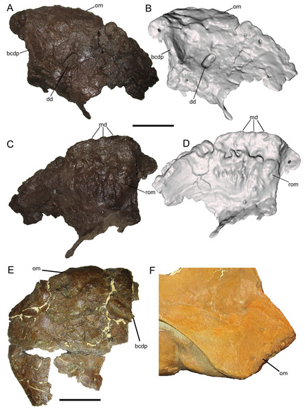 Premaxilla of WSC 10058, holotype of Ornatops incantatus.
