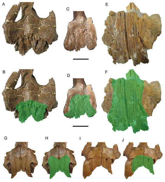 Brachylophosaurin frontals.