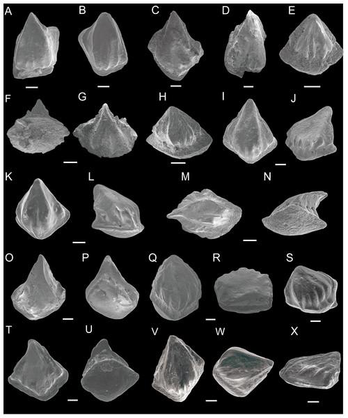 SEM photos of Nostolepis striata, Nostolepis amplifica and Nostolepis consueta scales.