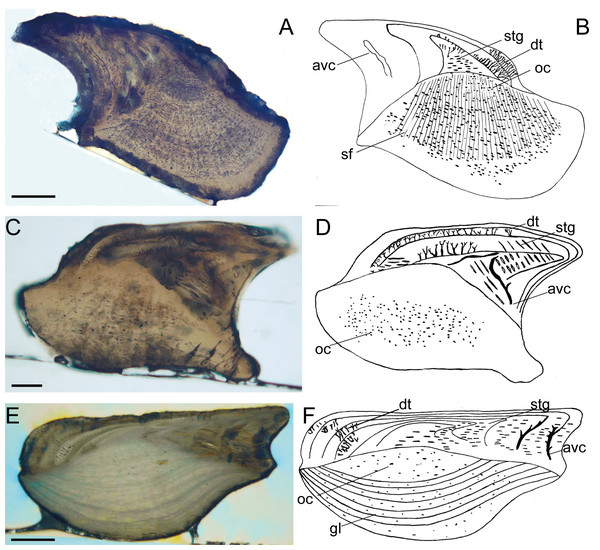Histological microstructure and illustrative drawings of Nostolepis striata, Nostolepis amplifica, and Nostolepis consueta scales in vertical longitudinal sections.