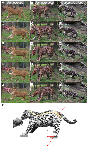 Functional hypothesis of forces transmission through hind limbs when felids pull on food.