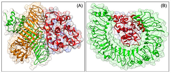 Docked pose of VTC3-TLR1/2 complex (A) and VTC3-TLR4 complex (B).