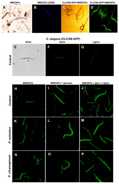 Microscopy fluorescence images of C. elegans worms treated with MWCNTs.
