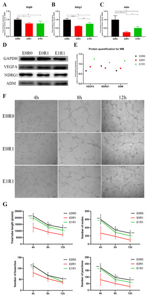 RP-Exos boosted pro-angiogenic gene and protein expression of macrophages, which were downregulated by IR.