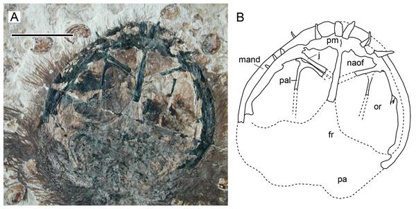Nasoantorbital fenestra in Jeholopterus CAGS IG 02-81.