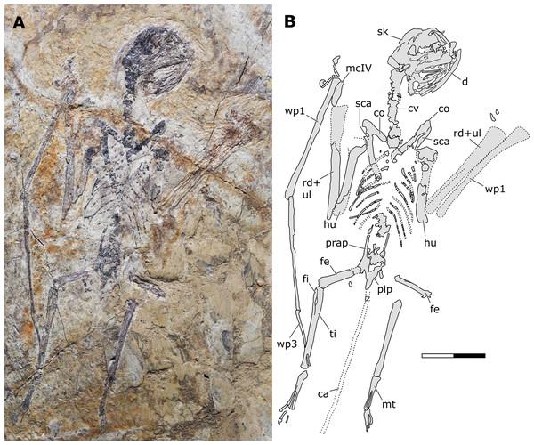 Sinomacrops bondei tax. nov., holotype (JPM-2012-001) overview.