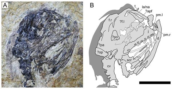 Sinomacrops bondei tax. nov., skull of JPM-2012-001.