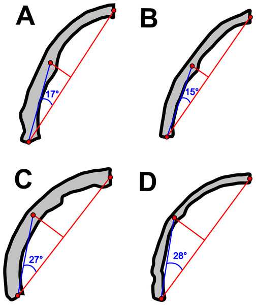 Variation in the arching of the hemimandible in anurognathids.