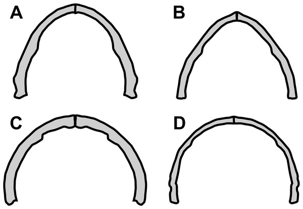 Variation in anurognathid jaw shape.