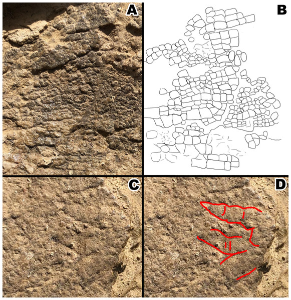 Section A1 exhibiting rectangular tubercles and possible footprint from section A2 with drawings for clarity.