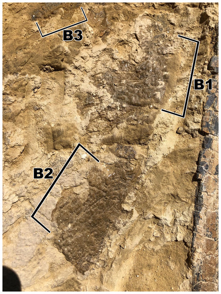 Skin fragment B, located on the opposite side of the rib as to fragment A.