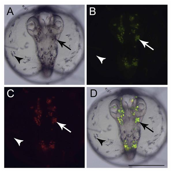 Fluorescent cells, dorsal view.