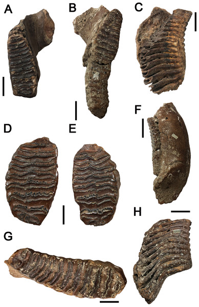Images of P. huaihoensis specimens deposited at the National Museum of Nature Science (NMNS).