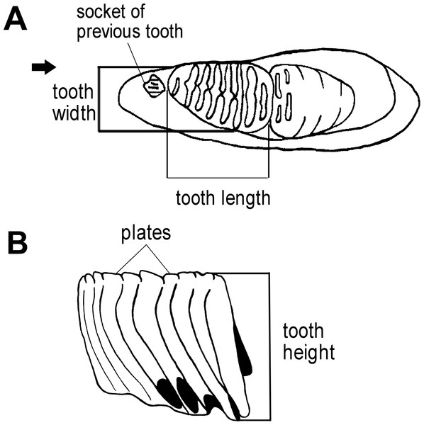 Measurements of an elephant tooth used in this study.