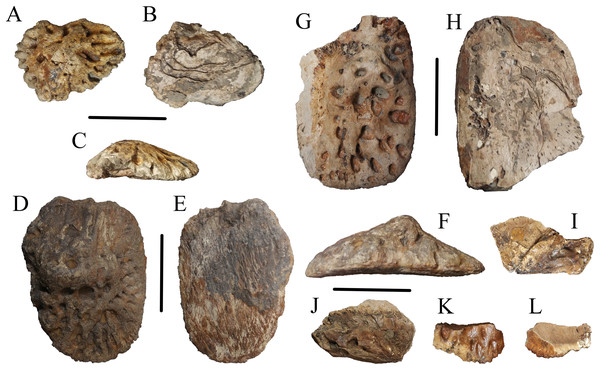 Osteoderms of WSC 285.