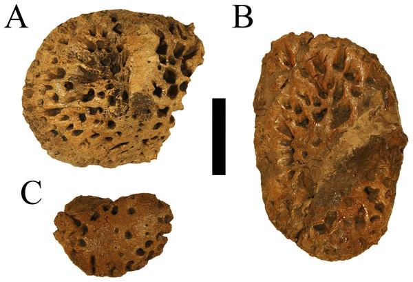 Holotype osteoderms of Deinosuchus hatcheri.