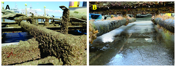 Extensive biofouling growth developed on the experimental raft (A, dominated by barnacles) and diffusers (B, with extensive hydroid fouling) during each deployment.
