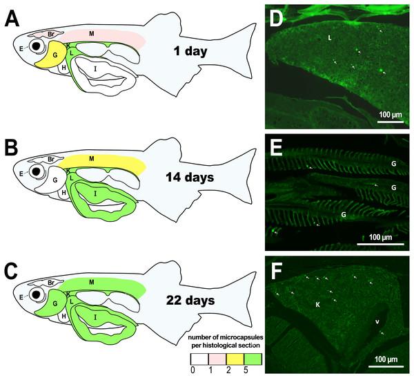 Distribution of PMs-PEG in zebrafish organs after intrarenal injection.