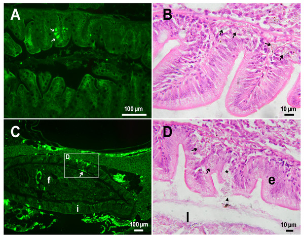 PMs-PEG in zebrafish intestine after intrarenal injection.