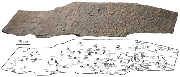 The photograph and outline drawings of Pteraichnus wuerhoensis isp. nov. (Photo credit: Wei Gao).