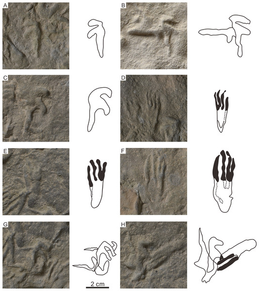 The photographs and outline drawings of the holotype, paratype, and overlapping pterosaur footprints of Pteraichnus wuerhoensis isp. nov. in Huangyangquan Reservoir tracksite 1.