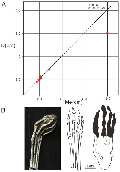 Comparative analysis diagrams of Pteraichns wuerhoensis isp. nov. and pes bone fossil of N. complicidens.