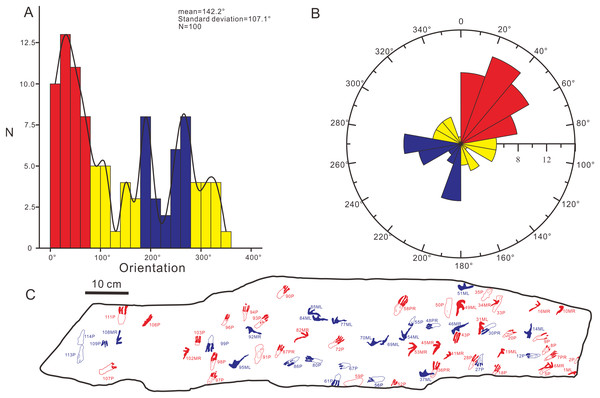 The histogram and rose diagram of the forward orientations of Pterachnus wuerhoensis isp. nov.