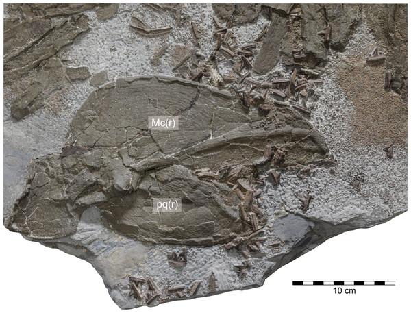 Durnonovariaodus maiseyi gen. et sp. nov., MJML K1624, holotype, from the Upper Jurassic Kimmeridge Clay Formation (early Tithonian) near Freshwater Steps, Encombe, Dorset, England.