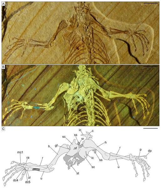Pectoral girdle and forelimbs of Sphenofontis velserae gen. et sp. nov.