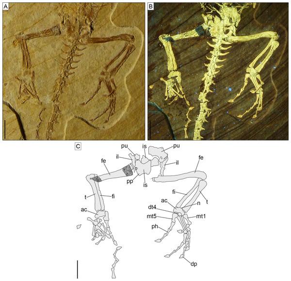 Pelvic girdle and hindlimbs of Sphenofontis velserae gen. et sp. nov.