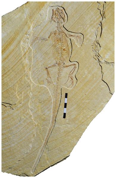 Holotype of Sphenofontis velserae gen. et sp. nov., SNSB-BSPG 1993 XVIII 4.